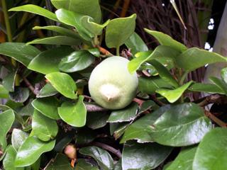 Figuier grimpant ou Lièrre péi - Ficus pumila. Feuilles et fruit