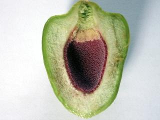 Ficus pumila. Fruit.