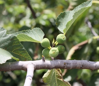 Ficus carica L. Figuier.