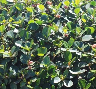 Ficus microcarpa L. f.