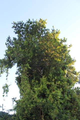 Ficus reflexa Thunb.