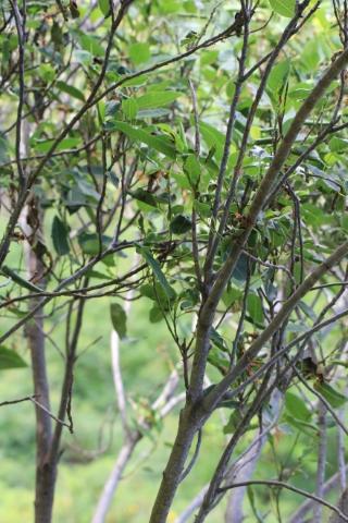 Ficus rubra Vahl. Affouche rouge.