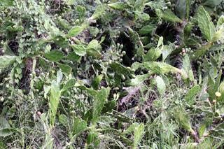 Opuntia ficus-indica (L.) Mill. Figuier de Barbarie.