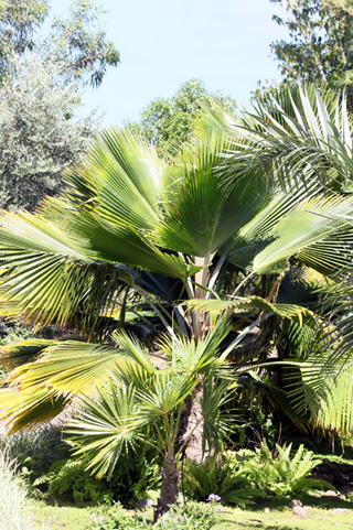 Pritchardia pacifica. Fiji Palm.