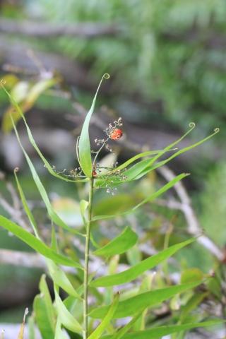 Flagellaria indica L.