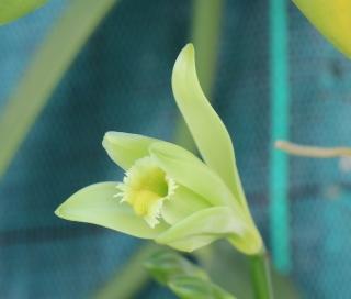 Fleur Vanilla planifolia. Orchidée.