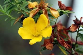Hypericum lanceolatum Lam. subsp. angustifolium (Lam.) N. Robson.