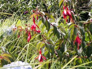 Fuchsia de Magellan ou Ti zanneau. Fuchsia magellanica Lam.
