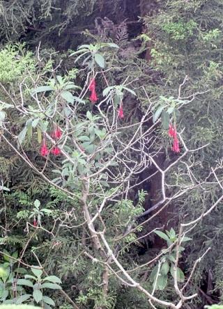 Fuchsia boliviana Carrière.