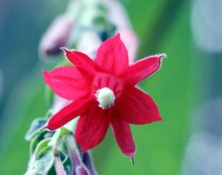 Fuchsia boliviana Carrière. Fleur.