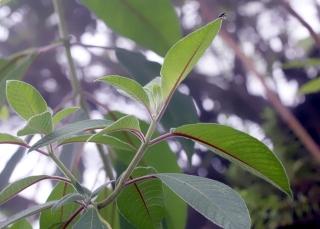 Fuchsia boliviana Carrière. Feuilles.