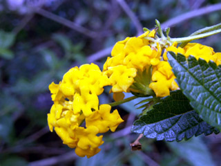 Fleurs Galabert Lantana camara L.