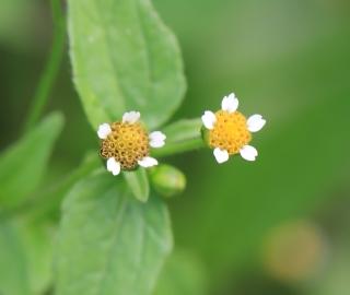 Galinsoga parviflora Cav. Fleurs.