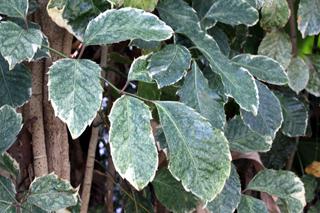 Polyscias guilfoylei (W. Bull) L.H. Bailey. Géranium aralia.