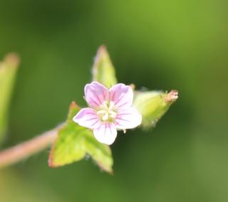 Geranium carolinianum L.