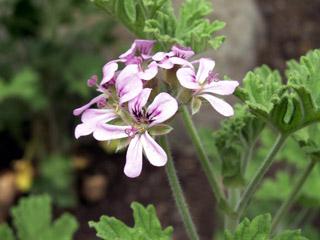 Fleur de Géranium Rosat. Pelargonium x asperum Ehrh. ex Willd.