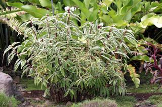 Cheilocostus Speciosus variegatus. Gingembre crêpe panaché.