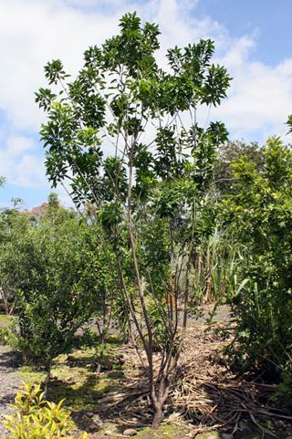Syzygium aromaticum (L.) Merr. et L.M. Perry. Muscadier.