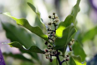 Syzygium aromaticum (L.) Merr. et L.M. Perry. Giroflier.