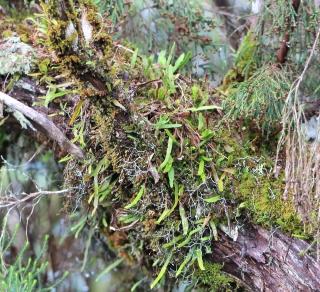 Grammitis obtusa Willd. ex Kaulf.