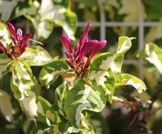 Fleurs. Graptophyllum pictum (L.) Nees ex Griff.