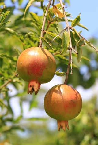 Fruits Punica granatum. Grenade.
