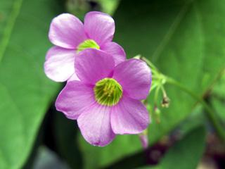 Oxalis latifolia Kunth. Fleur.
