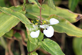 Fleur Commelina benghalensis.