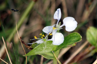 Fleur Commelina benghalensis Linnaeus.