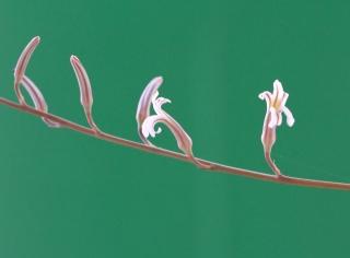 Fleurs Haworthia fasciata.