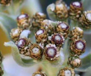 Helichrysum heliotropifolium (Lam.) DC.