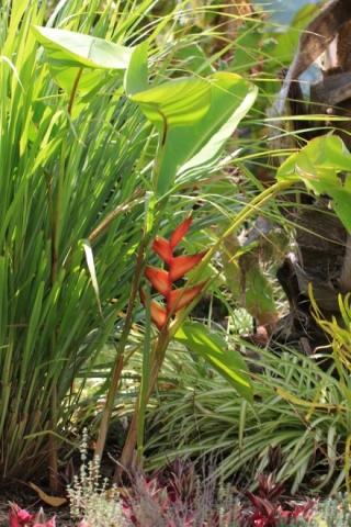 Heliconia bihai (L.) L.