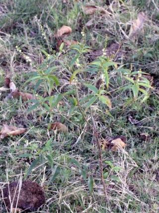 Croton bonplandianus Baill.