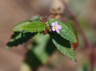Melochia pyramidata L. Fleur.