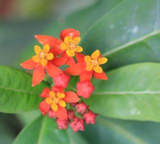 Asclepias curassavica L. Asclépiade de Curaçao, Herbe à chenilles.