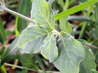 Feuilles : Herbe d'Eugène. Achyranthes aspera L.