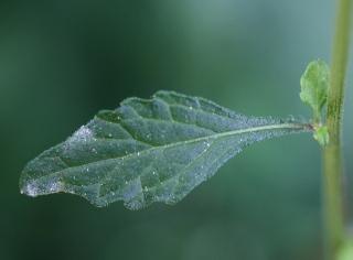 Cyanthillium cinereum (L.) H.Rob.
