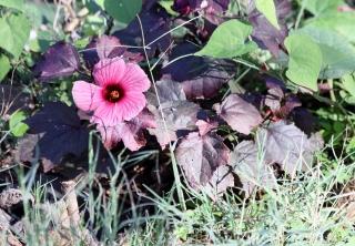 Hibiscus acetosella. Hibiscus à feuilles rouges.