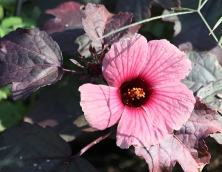 Fleur Hibiscus acetosella. Hibiscus à feuilles rouges.