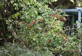 Malvaviscus arboreus Cav. Hibiscus dormant. Hibiscus piment.