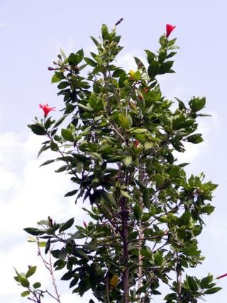 Hibiscus boryanus DC.