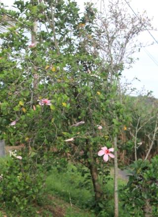 Hibiscus genevii.