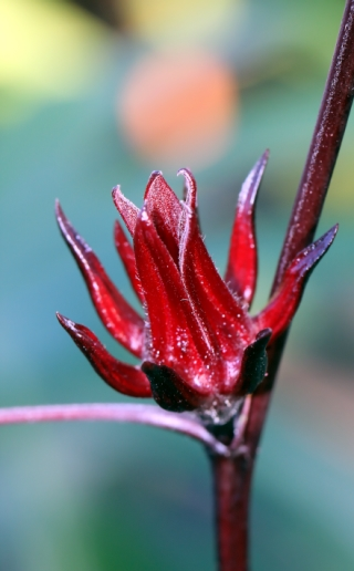 Hibiscus sabdariffa L. Oseille de Guinée. Karkadé.