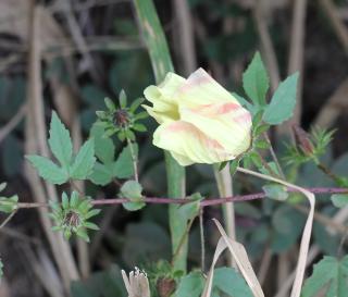 Hibiscus surattensis L.