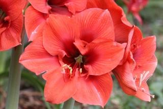 Hippeastrum reginae (L.) Herb.