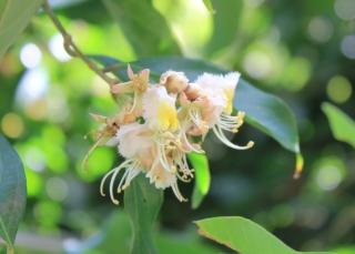 Hiptage benghalensis, Liane papillon.