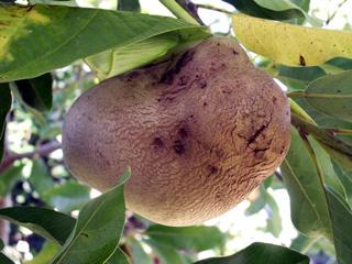 Dioscorea bulbifera L. Hoffe ou Pomme en l'air.