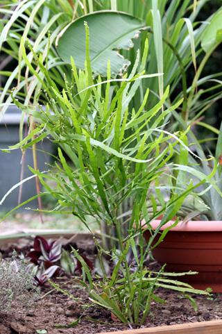 Muehlenbeckia platyclada (F. Muell.) Meisn.