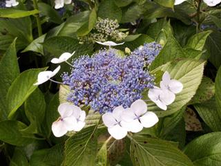 Fleur : Hortensia, rose du Japon. Hydrangea