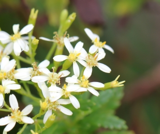 Hubertia ambavilla Bory.
